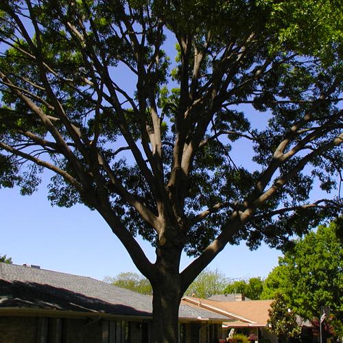 tree trimming houston 3